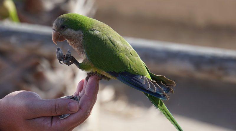 Obstarávate si papagája? Starostlivosť o neho nie je tak jednoduchá, ako sa zdá